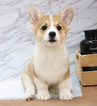 Small #3 Pembroke Welsh Corgi