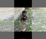 Puppy 9 Doberman Pinscher