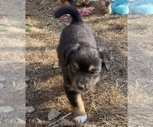 Miniature Australian Shepherd Puppy for sale in SAINT CLOUD, MN, USA