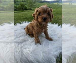Cavapoo Dog for Adoption in FREDERICKSBG, Ohio USA