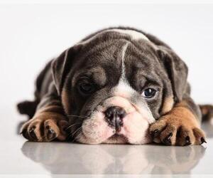 Bulldog Puppy for sale in E GREENWICH, RI, USA