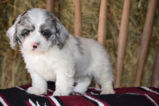 View Ad Cock A Poo Cockapoo Mix Puppy For Sale Ohio