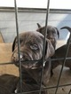 Labrador Retriever Puppy For Sale in CHICO, CA, USA