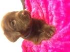 Labrador Retriever Puppy For Sale in COLLEGE STATION, TX, USA