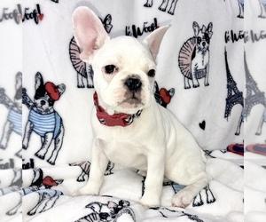 French Bulldog Puppy for sale in COAL CREEK, WA, USA