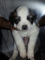 Saint Bernard Puppy For Sale in WURTSBORO, NY, USA