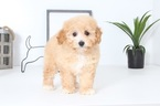 Candy Female Maltipoo Puppy