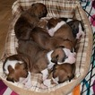 Boxer Puppy For Sale in GREENVILLE, South Carolina,