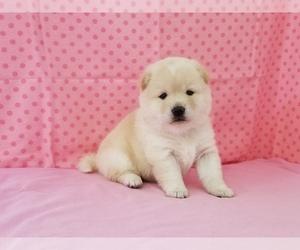 Shiba Inu Puppy for Sale in CLARK, Missouri USA