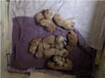 Golden Retriever Puppy For Sale in SANFORD, ME, USA