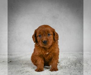 Goldendoodle Dog for Adoption in SOMERSET, Ohio USA