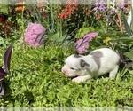 Small #10 Bullhuahua-Chihuahua Mix