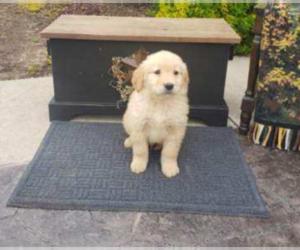 Golden Retriever Puppy for sale in OAK BLUFFS, MA, USA