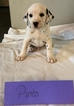 Dalmatian Puppy For Sale in FRANKLIN, KY, USA