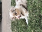 Australian Shepherd Puppy For Sale in STILLWATER, OK, USA