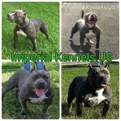 American Pit Bull Terrier Puppy For Sale in HIALEAH, FL, USA. prev next. Pitbull bully ...