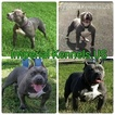 American Pit Bull Terrier Puppy For Sale in HIALEAH, FL,