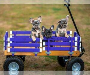 French Bulldog Puppy for sale in ANAHEIM, CA, USA