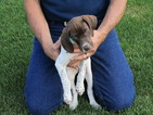 German Shorthaired Pointer Puppy For Sale in MORGANTOWN, WV, USA