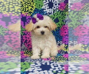 Maltipoo Puppy for sale in LANCASTER, PA, USA