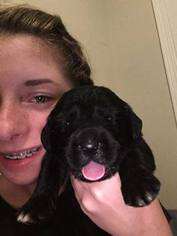 Newfoundland Puppy For Sale in MOUNT MORRIS, MI, USA