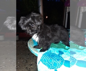 Mal-Shi Puppy for sale in CARTHAGE, TX, USA