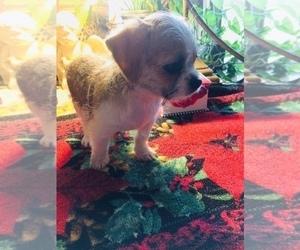 Shih Tzu Puppy for sale in LEBANON, OR, USA