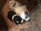 Border Collie Puppy For Sale in JEFFERSON, Ohio,