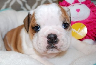 English Bulldogge Puppy For Sale in FAIRHOPE, AL, USA