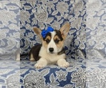 Small #5 Pembroke Welsh Corgi