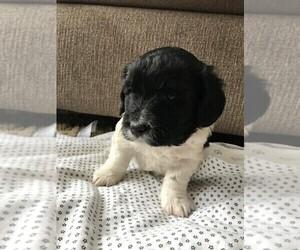 Goldendoodle (Miniature) Puppy for sale in MENOMONIE, WI, USA