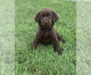 Labrador Retriever Puppy for Sale in CREAL SPRINGS, Illinois USA