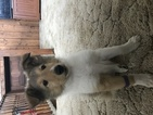 Collie Puppy For Sale in MASON, WV, USA