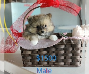 Pomeranian Puppy for sale in MILLERSBURG, IN, USA