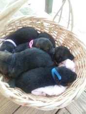 German Shepherd Dog Puppy For Sale in AMERICUS, GA, USA