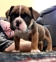 Puppy 1 Olde English Bulldogge