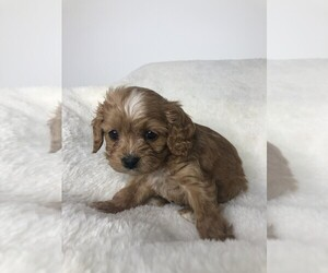 Cavapoo Puppy for sale in KINGSTON SPGS, TN, USA