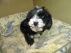 Cavapoo Puppy For Sale in PATERSON, NJ, USA