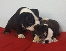Bulldog Puppy For Sale in SACRAMENTO, CA, USA