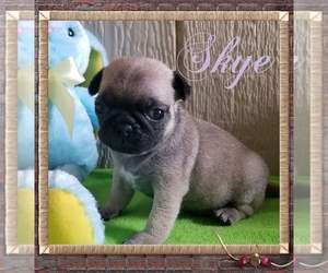 Pug Puppy for sale in BELLE CENTER, OH, USA