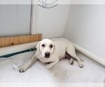 Small Photo #5 Labrador Retriever Puppy For Sale in NEW LENOX, IL, USA
