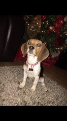 Beagle Puppy For Sale in FORT WORTH, TX
