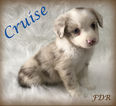 Cruise Toy to Small Mini Red Merle Male Aussie