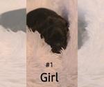 Puppy 2 Maltipoo-Peke-A-Poo Mix