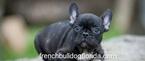 French Bullog Puppies Pet name Tom1