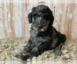 Goldendoodle Puppy for sale in CONCORD, NC, USA