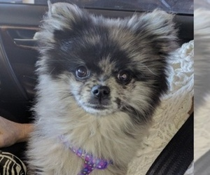 Pomeranian Puppy for sale in DECATUR, TX, USA