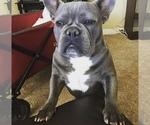 Blue French Bulldog Stud