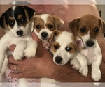 Small #17 Jack Russell Terrier