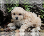 Small Photo #1 Shih-Poo Puppy For Sale in SHILOH, OH, USA